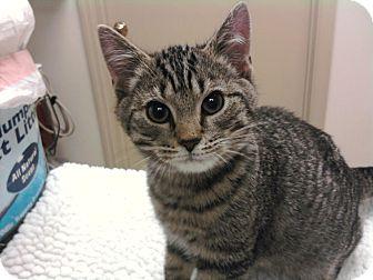 Domestic Shorthair Kitten for adoption in Troy, Ohio - Jackson