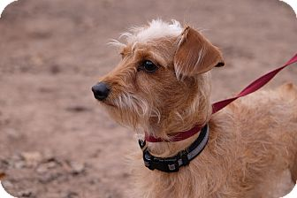 Yorkie, Yorkshire Terrier/Dachshund Mix Dog for adoption in Conroe, Texas - Andy