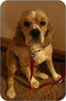 Cocker Spaniel Dog for adoption in Flushing, New York - Pandora