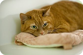 Domestic Shorthair Cat for adoption in Muskegon, Michigan - Tom