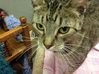 Domestic Shorthair Cat for adoption in Fresno, California - Bear