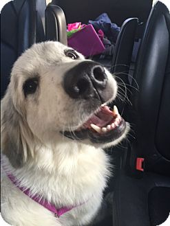 Great Pyrenees Mix Dog for adoption in Byhalia, Mississippi - Maggie