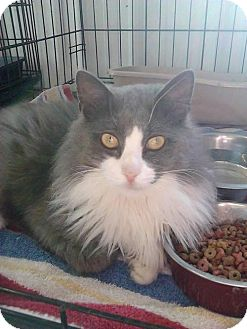 Domestic Longhair Cat for adoption in Greenville, Kentucky - Fisher