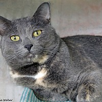 Domestic Shorthair Cat for adoption in St Louis, Missouri - Stella