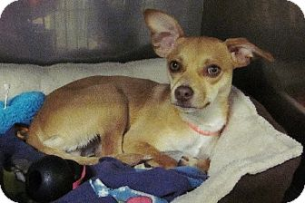Chihuahua Mix Puppy for adoption in Beacon, New York - Beaker