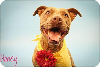 American Pit Bull Terrier/Pit Bull Terrier Mix Dog for adoption in Phoenix, Arizona - Honey