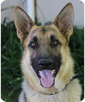 German Shepherd Dog Mix Dog for adoption in Red Bluff, California - TACOMA-Low fees/neutered