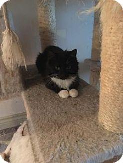Domestic Shorthair Cat for adoption in Wasilla, Alaska - Little Socks