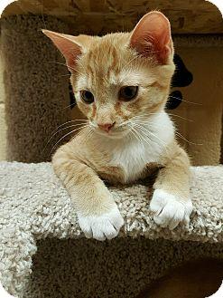 Domestic Shorthair Kitten for adoption in Smithfield, North Carolina - Ruutu