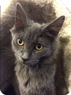 Domestic Mediumhair Kitten for adoption in Colville, Washington - Pearl