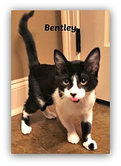 Domestic Shorthair Cat for adoption in Baton Rouge, Louisiana - Bentley
