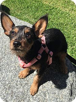 Yorkie, Yorkshire Terrier/Terrier (Unknown Type, Small) Mix Puppy for adoption in Santee, California - Luna