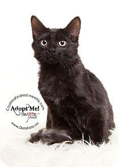 Domestic Shorthair Kitten for adoption in Denver, Colorado - Maybelline