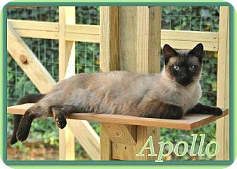 Siamese Cat for adoption in Buford, Georgia - Apollo