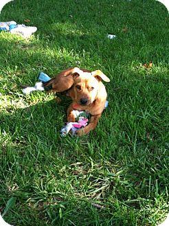 Labrador Retriever/Hound (Unknown Type) Mix Puppy for adoption in Laingsburg, Michigan - Baby Boy