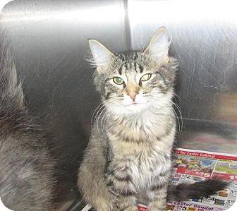 Domestic Longhair Cat for adoption in Kankakee, Illinois - Tonto
