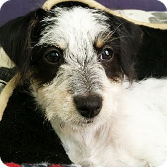 Terrier (Unknown Type, Small)/Poodle (Miniature) Mix Puppy for adoption in Thousand Oaks, California - KitKat