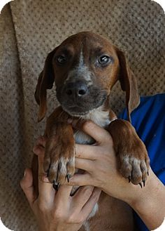 Rhodesian Ridgeback/Treeing Walker Coonhound Mix Puppy for adoption in Oviedo, Florida - Taffy