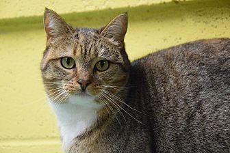 Domestic Shorthair Cat for adoption in Pottsville, Pennsylvania - Venetian