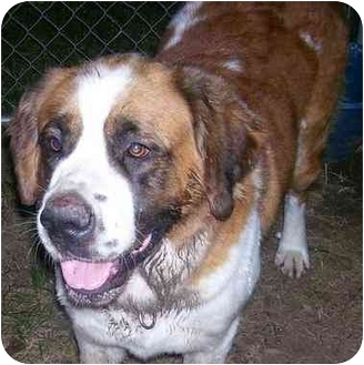 St. Bernard Dog for adoption in Evansville, Indiana - Jessie