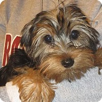 Adopt A Pet :: Honey Bea - Salem, NH