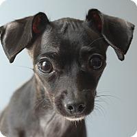 Adopt A Pet :: Cleo - Romeoville, IL