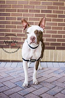 Pit Bull Terrier Mix Dog for adoption in Charlotte, North Carolina - Chomper