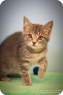 Domestic Shorthair Kitten for adoption in Circleville, Ohio - Briar