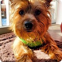 Adopt A Pet :: Toby - Arlington, VA