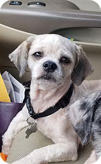 Shih Tzu Mix Dog for adoption in Mount Pleasant, South Carolina - Butterball