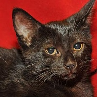 Adopt A Pet :: Serena - Garland, TX