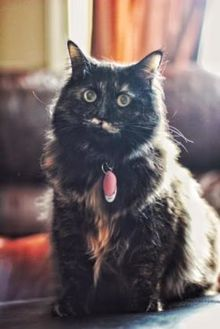 Domestic Longhair/Domestic Shorthair Mix Cat for adoption in Sherwood Park, Alberta - Dot