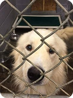Great Pyrenees Mix Dog for adoption in Hainesville, Illinois - Yellow Wolf