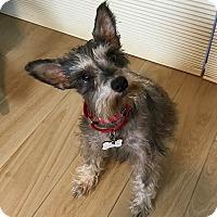 Adopt A Pet :: Harlow - Redondo Beach, CA