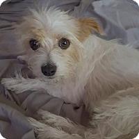 Adopt A Pet :: Gigi,  a maltese mix dog - Arlington, WA