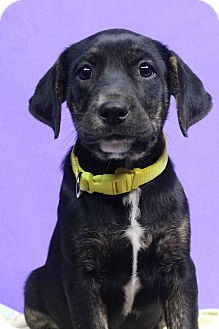 Retriever (Unknown Type) Mix Puppy for adoption in Westminster, Colorado - Darla