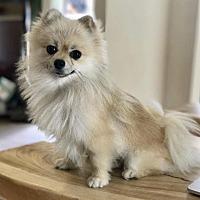 Adopt A Pet :: Lil' Kim - San Francisco, CA