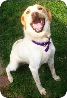 Labrador Retriever/Australian Cattle Dog Mix Dog for adoption in Latrobe, Pennsylvania - Brady