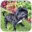 Photo 1 - Poodle (Miniature)/Terrier (Unknown Type, Small) Mix Dog for adoption in Los Angeles, California - LANCELOT