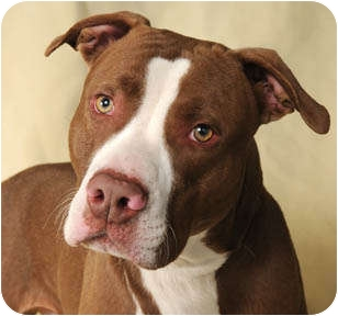American Staffordshire Terrier Dog for adoption in Chicago, Illinois - Rocky