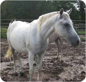 Arabian Mix for adoption in Lyles, Tennessee - Willy