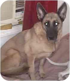 German Shepherd Dog Mix Dog for adoption in Forest Hills, New York - Missy
