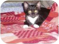 Domestic Shorthair Kitten for adoption in San Diego/North County, California - Oreo