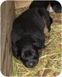 German Shepherd Dog/Labrador Retriever Mix Puppy for adoption in Mill Creek, Washington - Gabbie