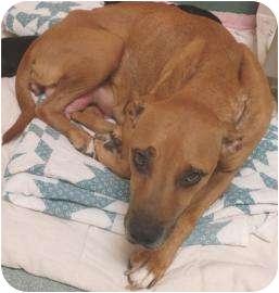 Labrador Retriever/Hound (Unknown Type) Mix Dog for adoption in Springfield, Massachusetts - Tada