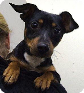 Miniature Pinscher Mix Dog for adoption in Kalamazoo, Michigan - Shadow