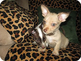 Terrier (Unknown Type, Small) Mix Puppy for adoption in Tumwater, Washington - Hank