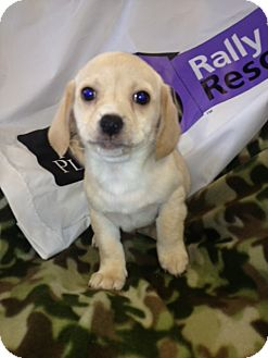 Pekingese/Dachshund Mix Puppy for adoption in Lancaster, Kentucky - Gabe