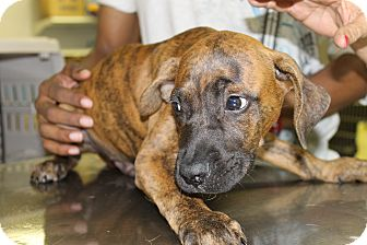 Plott Hound Mix Puppy for adoption in Waldorf, Maryland - Dez