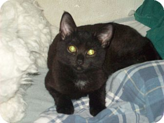 Domestic Shorthair Kitten for adoption in San Diego/Imperial Beach, California - Red